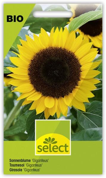 Sonnenblume 'Giganteus' - Helianthus annuus