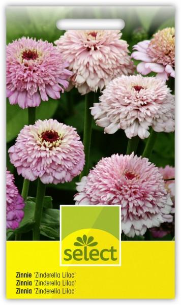 Zinnie 'Zinderella Lilac' - Vorderseite